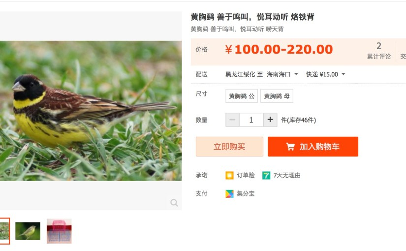 Critically Endangered YELLOW-BREASTED BUNTINGS for sale online in China