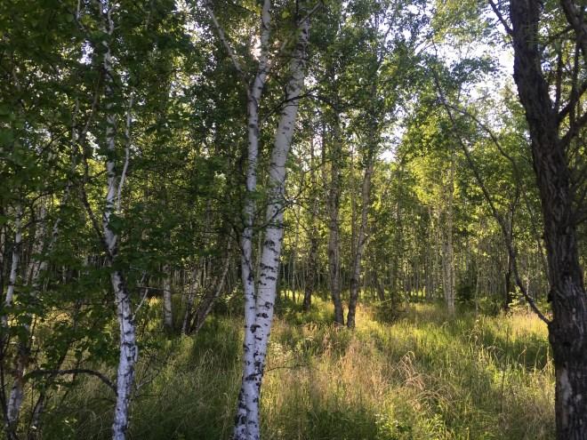 2018-06-16 silver birch forest, Wuerqihan, Inner Mongolia