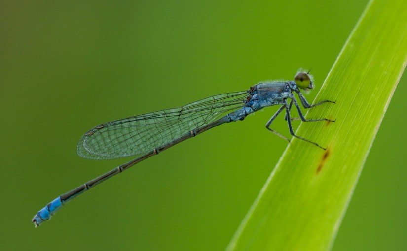 The Dragonflies and Damselflies of Beijing