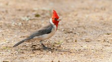 28 BIRDERS Martin Iriarte-Cardenal Copete Rojo