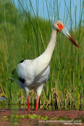 14 BIRDERS H Tolosa-Cigüeña america (Ciconia maguari)