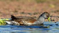 18 BIRDERS H Tolosa-Pollona pintada (Gallinula chloropus)