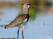23 BIRDERS H Tolosa-Tero (Vanellus chilensis)