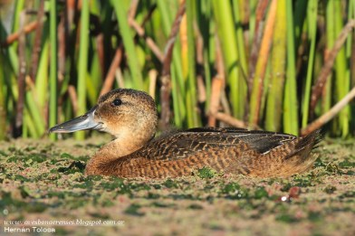 32 BIRDERS H Tolosa-Pato cabeza negra (Heteronetta atricapilla) juvenil