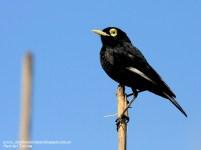 48 BIRDERS H Tolosa-Pico de plata (Hymenops perspicillatus)