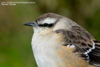 52 BIRDERS H Tolosa-Calandria grande (Mimus saturninus)