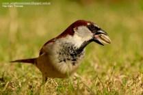 58 BIRDERS H Tolosa-Gorrion (Passer domesticus) macho