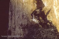 07 BIRDINGMURCIA - Biovisual - A. perdicera