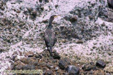 09 BIRDINGMURCIA - Biovisual - cormoran moñudo