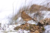 17 BIRDINGMURCIA - Biovisual - cogujada
