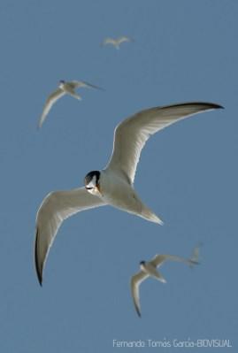 25 BIRDINGMURCIA - Biovisual - charrancito
