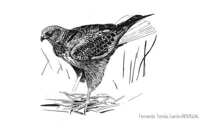 32 BIRDINGMURCIA - Biovisual - A lagunero