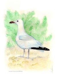 35 BIRDINGMURCIA - Biovisual - gaviota audouin