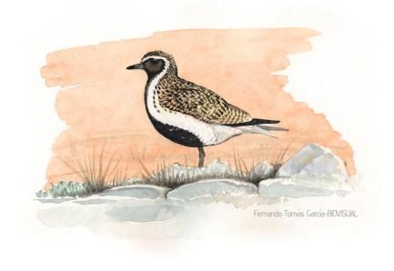 36 BIRDINGMURCIA - Biovisual - chorlito dorado