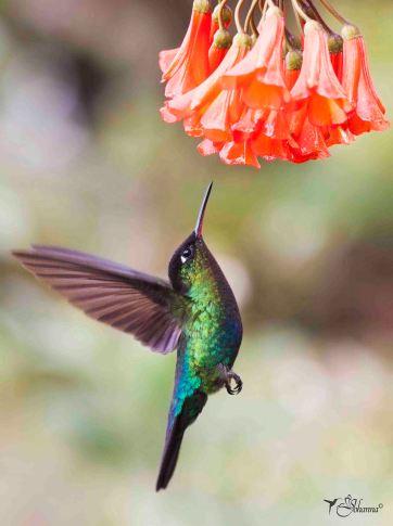 03 Joy Murillo - birdingmurcia
