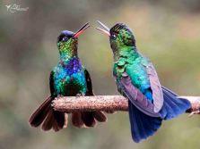 05 Joy Murillo - birdingmurcia