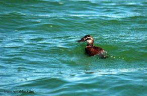 11 I. Arnaldos-birdingmurcia
