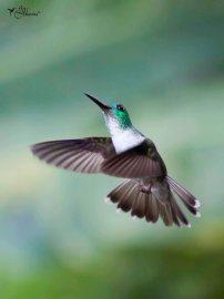 13 Joy Murillo - birdingmurcia