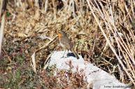 14 I. Arnaldos-birdingmurcia