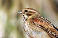 16 I. Arnaldos-birdingmurcia