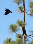 Great Horned Owl being attacked by Crows