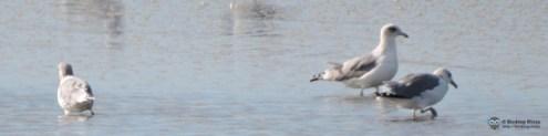 Herring Gulls?
