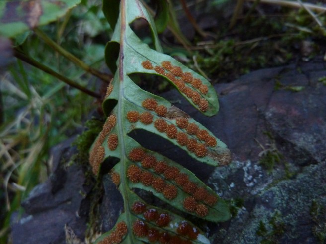 Common Polypody