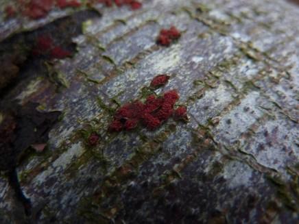 Coral Spot - Nectria cinnabarina