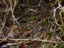 Bank vole droppings
