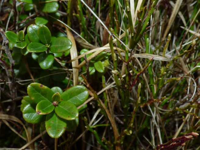 Cowberry and blaeberry