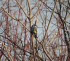 """Any question why this species is nicknamed """"butter butt""""? Yellow-rumped Warbler - High Cliff 4-28-2015"""