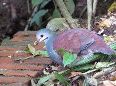 Buff-fronted Quail-Dove - Monteverde 3-17-2015 The buff forehead and greenish nape are diagnostic. Endemic to CR and Western Panama.