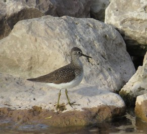 Solitary Sandpiper - High Cliff 5-4-2015