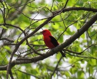 Scarlet Tanager - High Cliff 5-7-2015