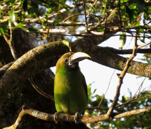 Emerald Toucanet - Costa Rica 3-19-2015