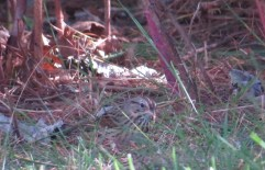 Lincoln's Sparrow 10-11-2015