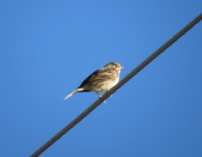 Vesper Sparrow - 10-25-15