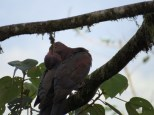 It was pretty cool to see the affection shown between these two. Red-billed Pigeons - Celeste Mountain Lodge 3-20-2015