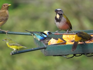 Clay-colored Thrush, Buff-throated Saltator, Yellow-throated Euphonia (female), Golden-hooded Tanager, & Buff-throated Saltator - Celeste Mountain Lodge 3-20-2015