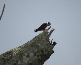 Bat Falcon - Costa Rica 3-21-2015