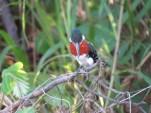 Green Kingfisher - Costa Rica 3-22-2015