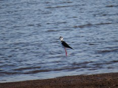 Black-necked Stilt - Costa Rica 3-22-2015