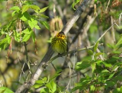 Cape May Warbler - High Cliff, Sherwood WI 5-9-2016