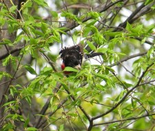 Looking for lunch in the leafs. Rose-breasted Grosbeak - High Cliff, Sherwood WI 5-13-2016