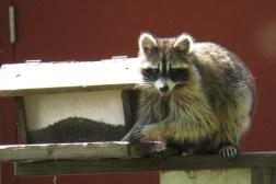 Raccoon - Necedah National Wildlife Refuge, WI 5-21-2016