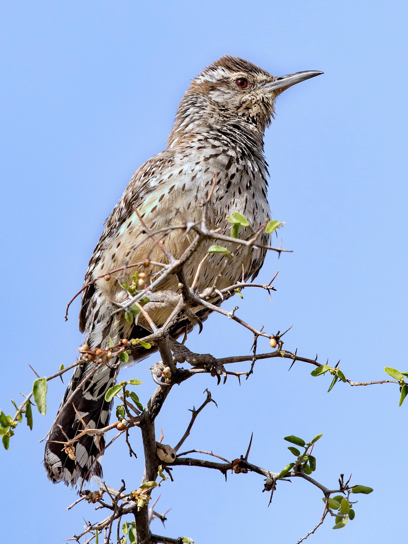 Wild Birds Of Arizona Checklist Common Identification