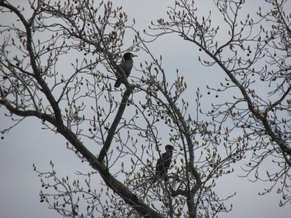 Cormorants (Image by BirdNation)