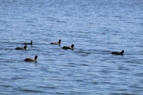 American Coot flock (Image by David Horowitz)