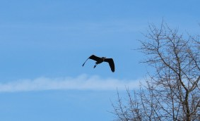 Great Blue Heron fly-by (Image by David Horowitz)