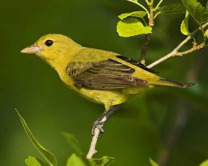 Female Scarlet Tanager (Image by Rob Curtis/VIREO via audubon.org)